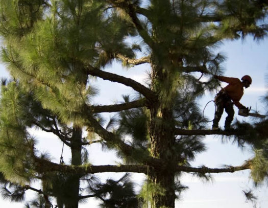 Country Club-South Florida Tri-County Tree Trimming and Stump Grinding Services-We Offer Tree Trimming Services, Tree Removal, Tree Pruning, Tree Cutting, Residential and Commercial Tree Trimming Services, Storm Damage, Emergency Tree Removal, Land Clearing, Tree Companies, Tree Care Service, Stump Grinding, and we're the Best Tree Trimming Company Near You Guaranteed!