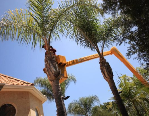 Palm Tree Trimming-South Florida Tri-County Tree Trimming and Stump Grinding Services-We Offer Tree Trimming Services, Tree Removal, Tree Pruning, Tree Cutting, Residential and Commercial Tree Trimming Services, Storm Damage, Emergency Tree Removal, Land Clearing, Tree Companies, Tree Care Service, Stump Grinding, and we're the Best Tree Trimming Company Near You Guaranteed!